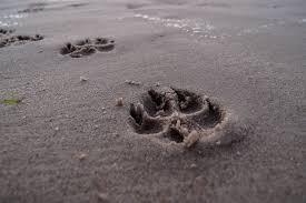 tassar i sand